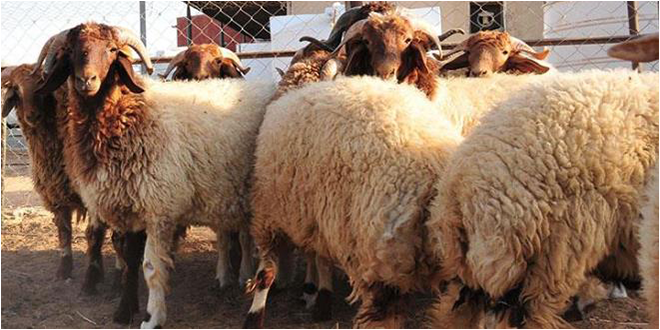 اضاحي العيد: توفر 1 مليون و500 ألف خروف.. والاسعار المرجعية المقترحة بين 11,5 د و 12,5 د للكلغ