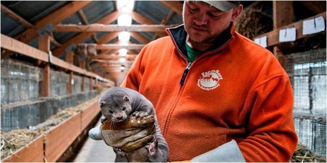 الدنمارك تعدم مئات الآلاف من حيوانات المنك خوفا من كورونا